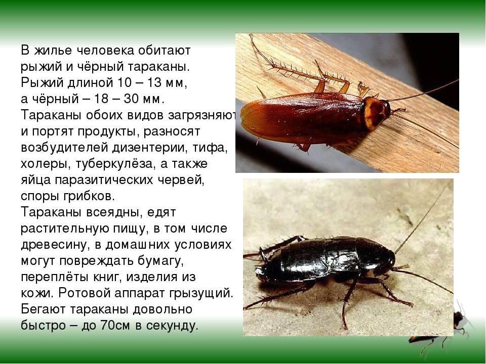 Умеют ли тараканы летать, можно ли встретить дома таракана с крыльями?