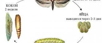 Моль: как выглядит, чем питается, разновидности вредителя