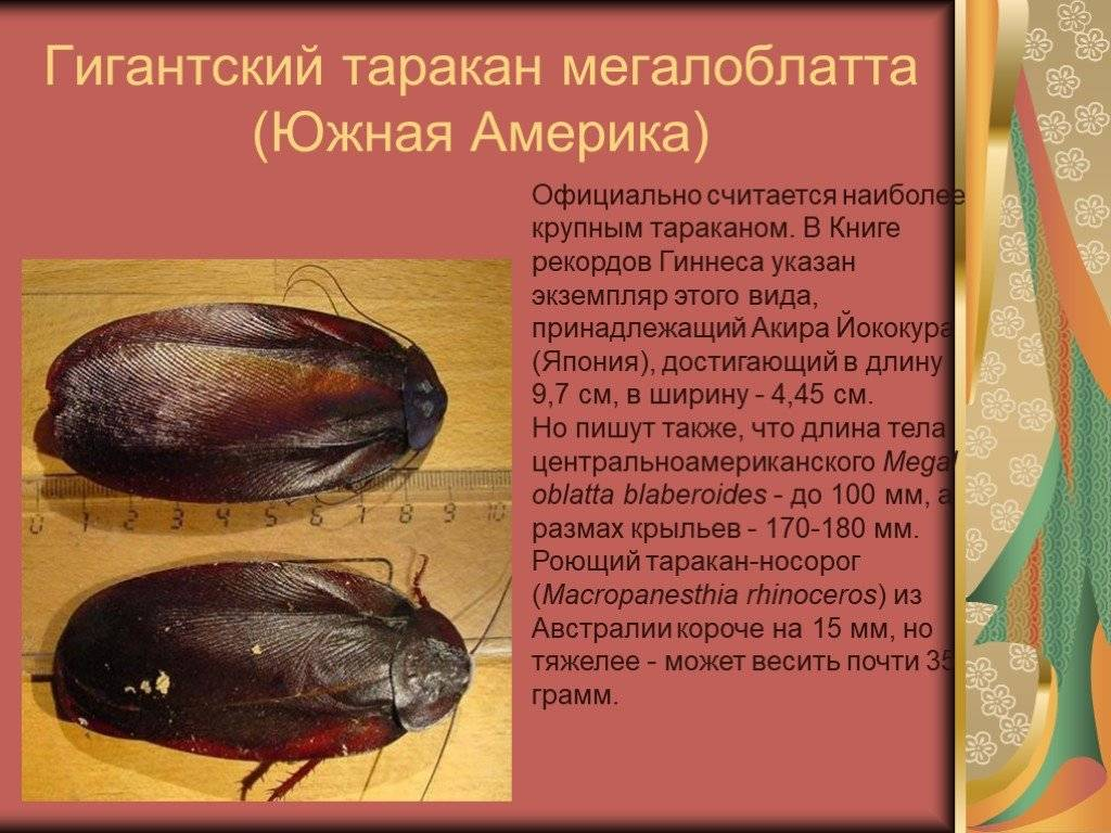Таракан-носорог, или гигантский роющий таракан