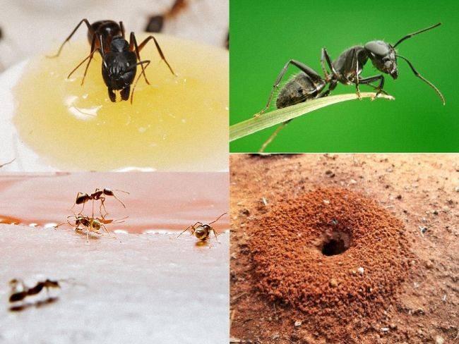 Борная кислота от муравьев в огороде: 4 способа применения - etocvetochki.com