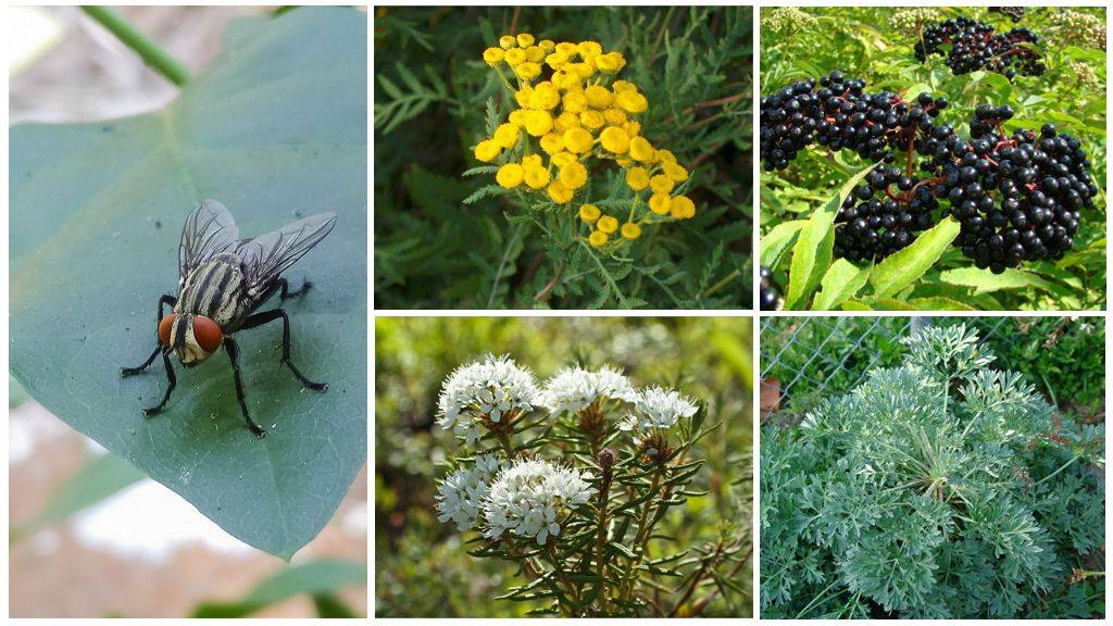 Растения-репелленты: что посадить, чтобы отогнать надоедливых насекомых
