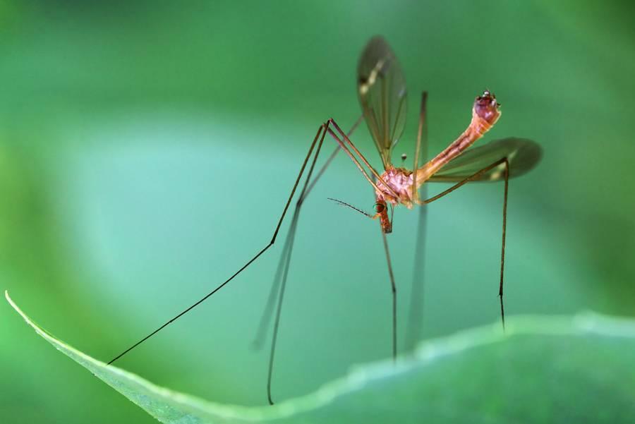 Большой комар с длинными ногами – как называется и опасен ли?