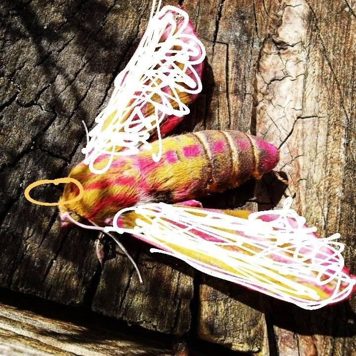 Бражник мертвая голова – что предвещает появление бабочки?