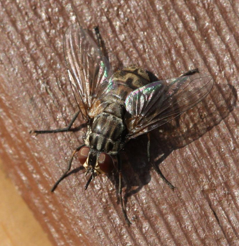 Вредоносная жигалка осенняя. особенности борьбы с насекомым