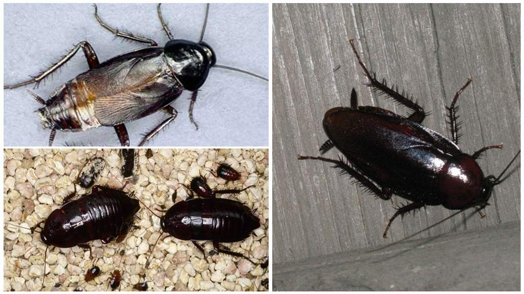 Виды домашних тараканов
