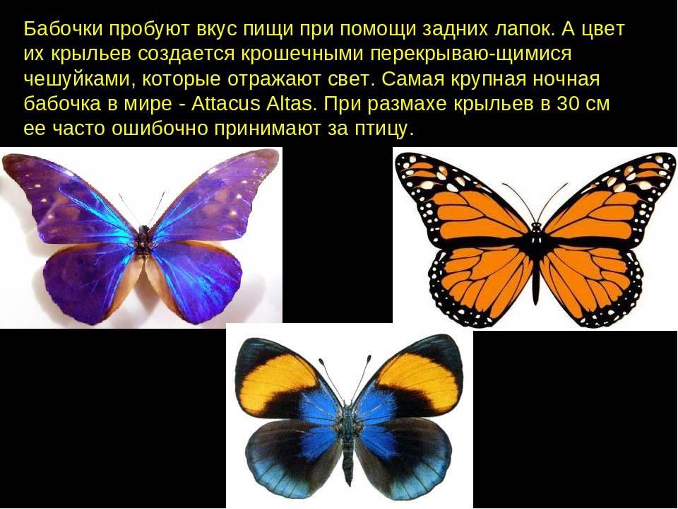 Презентация. как появляется бабочка. этапы развития. — презентация