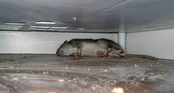 Как избавиться от запаха мышей в доме или квартире