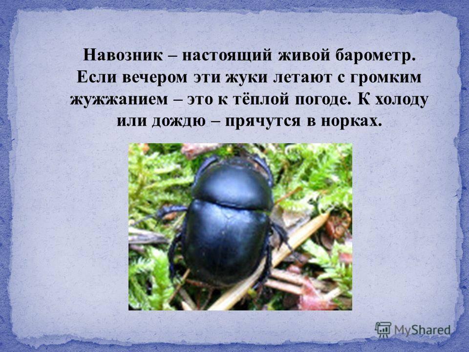 Скарабей жук насекомое. описание, особенности, образ жизни и среда обитания скарабея | живность.ру