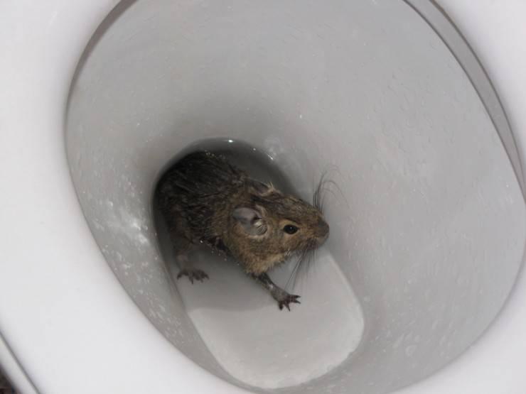 Если знать чего боятся крысы и мыши, от них избавиться получится в несколько простых шагов. чего боятся крысы