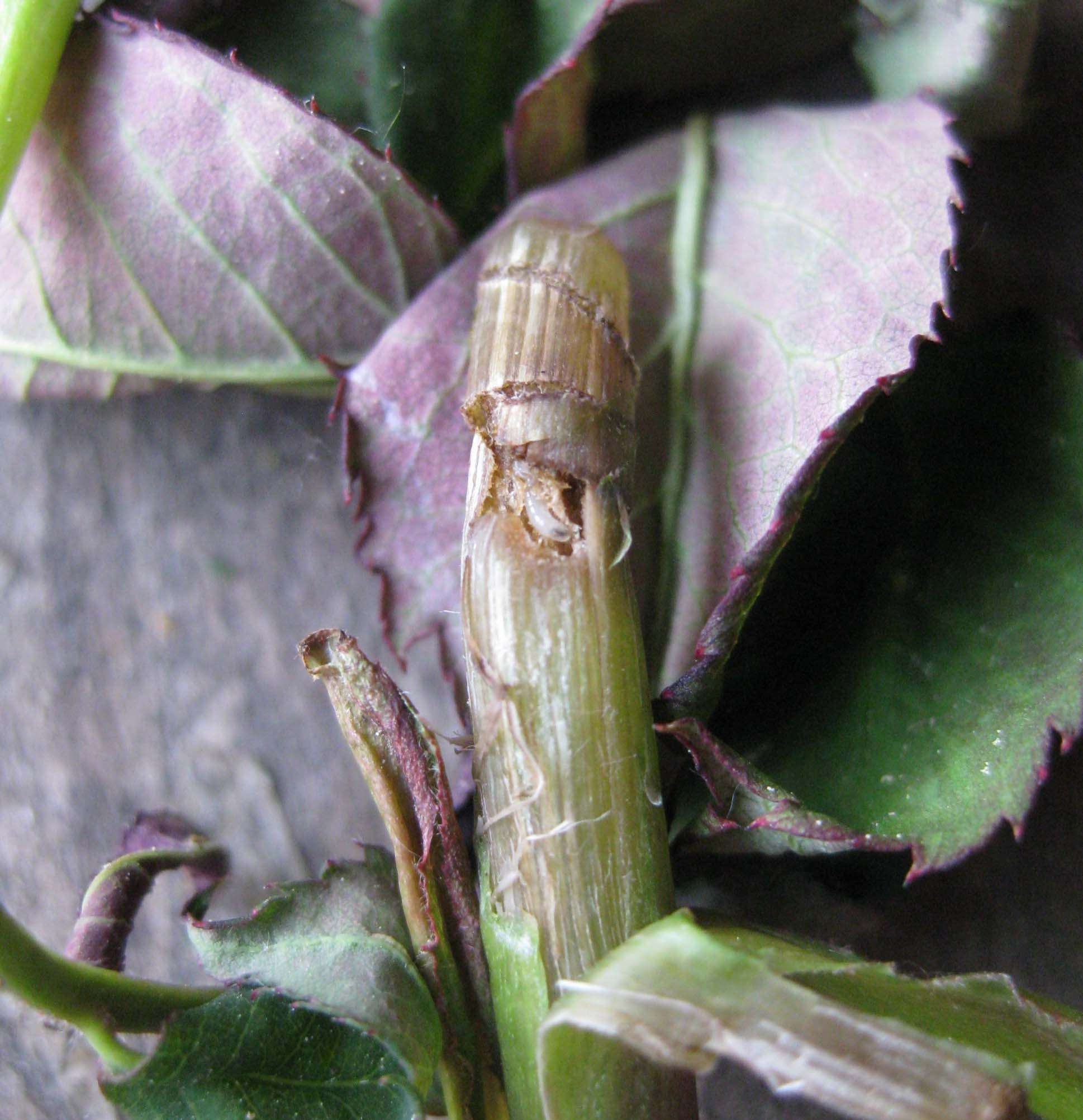 Пилильщик на пшенице, хвойных, косточковых растениях: виды вредителя и методы борьбы с ним
