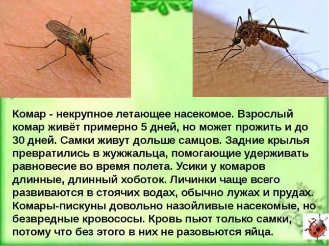 Чем питаются комары в природе и в квартире, чем отличаются самки от самцов?