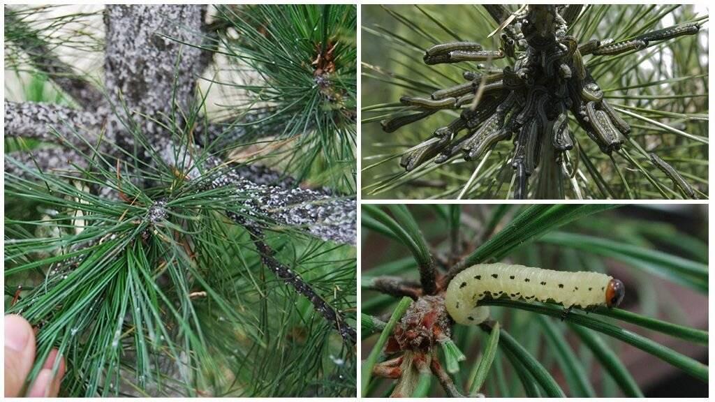 Красноголовый пилильщик ткач — враг сосны в лесах и посадках