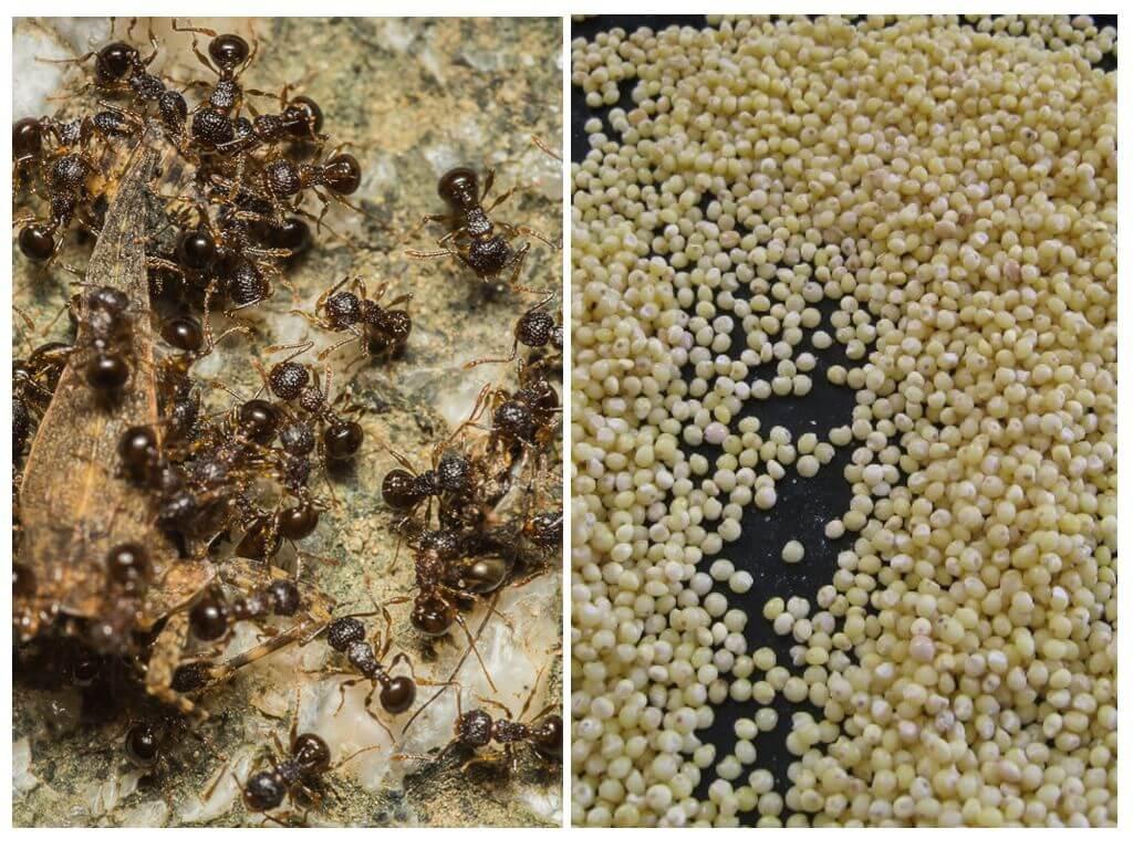 Как избавиться от муравьев на участке? накормите их пшеном! | рутвет - найдёт ответ!