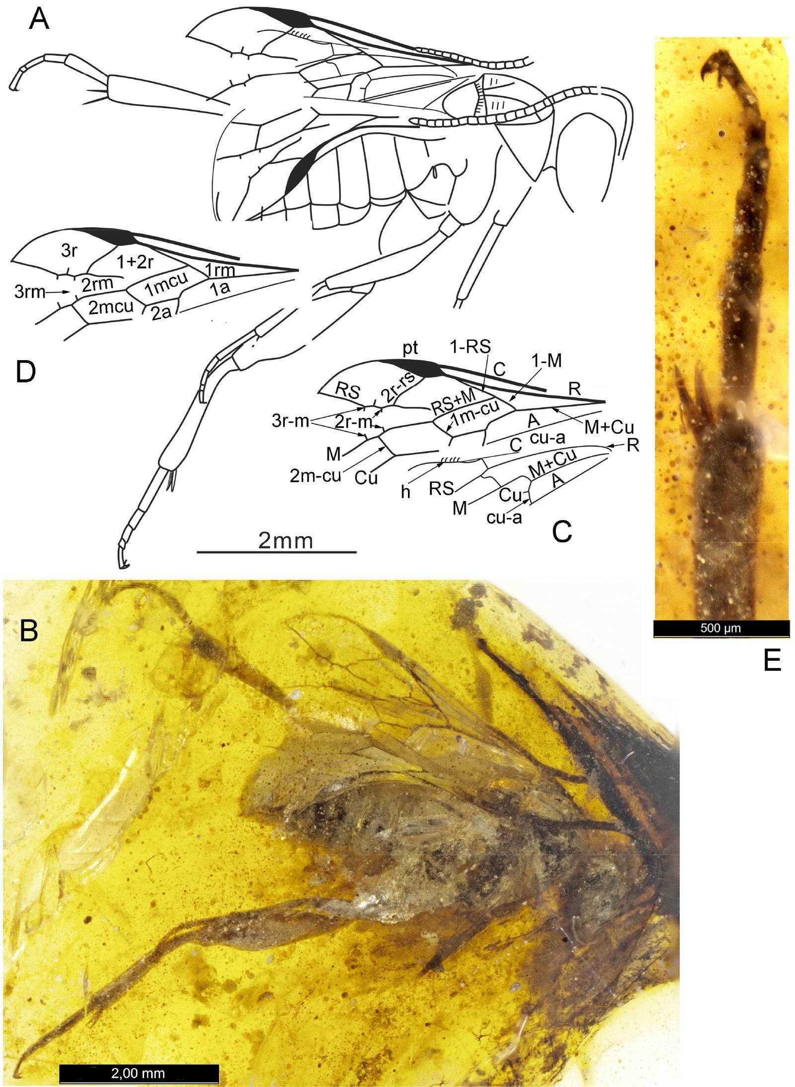 Сколько живут осы – семейная иерархия насекомых