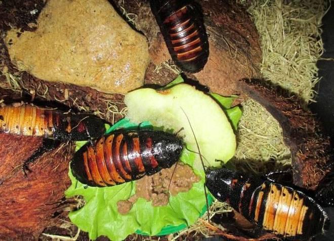 Мадагаскарский шипящий таракан — как его содержать дома