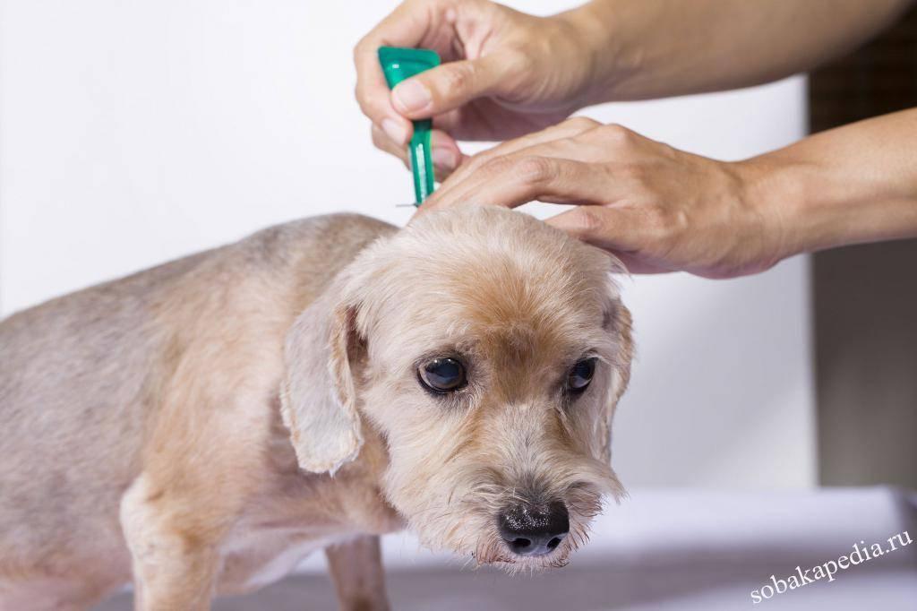 Как вывести блох у щенка в домашних условиях - обзор лучших средств