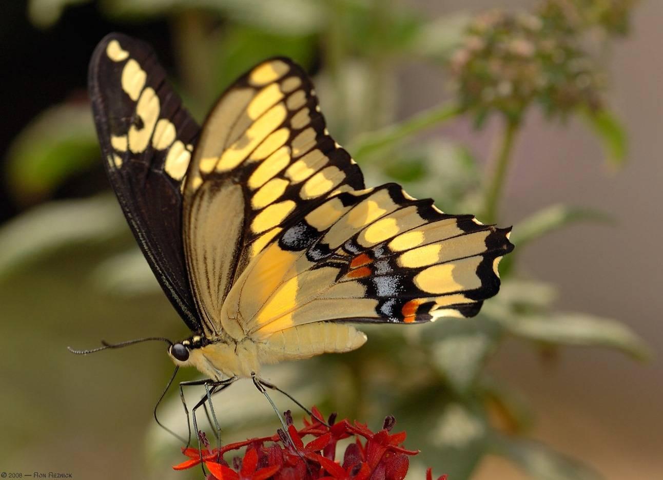 Бабочка алкиной | мир животных и растений