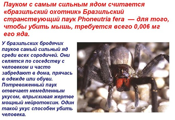 Как распознать бразильского странствующего паука