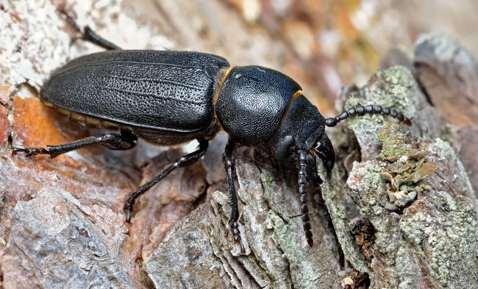 Серый длинноусый усач – санитар хвойного леса