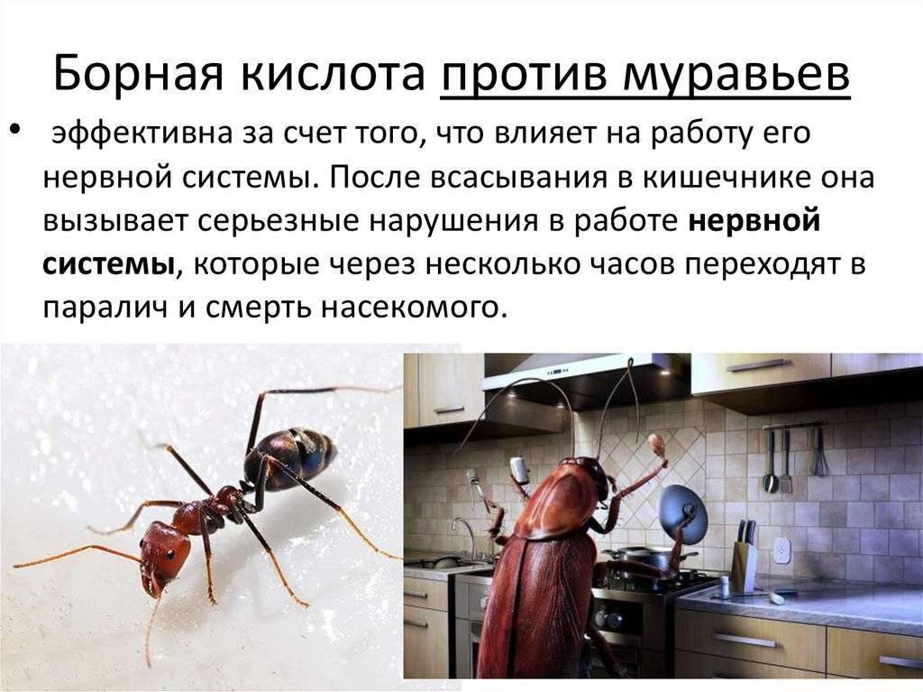 Борная кислота от домашних муравьев