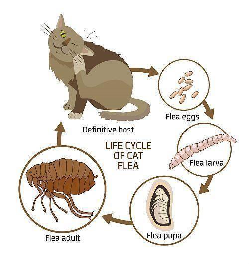 Как быстро плодятся блохи на кошках: жизненный цикл паразитов