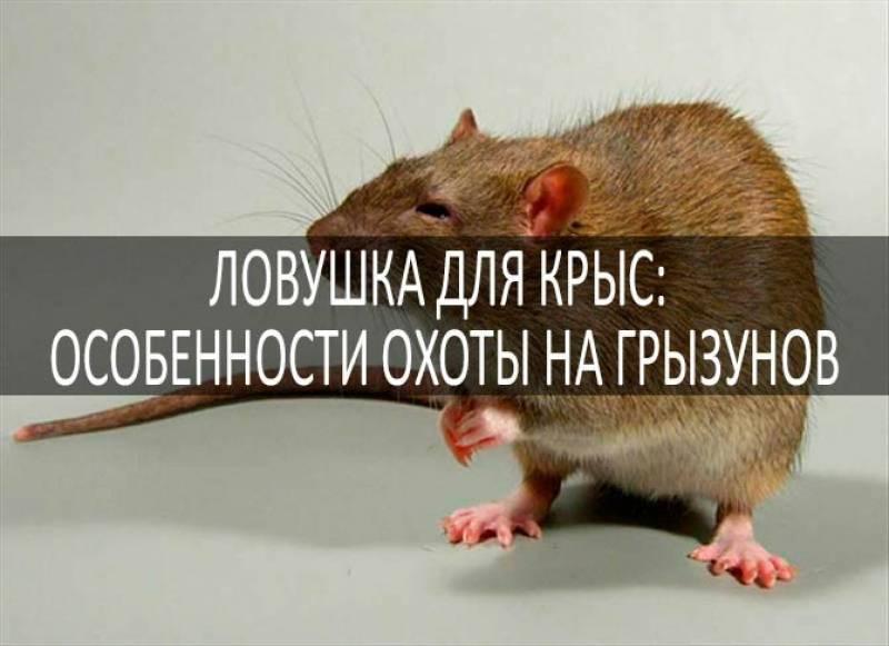 Как поймать крысу в доме: наиболее эффективные способы