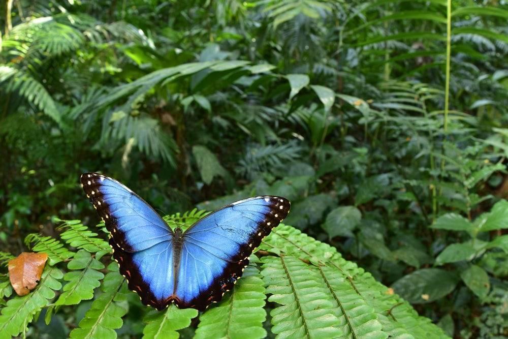 Бабочки тропических лесов южной америки