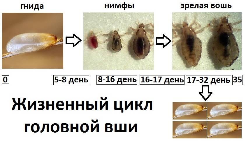 Жизненный цикл вшей: стадии развития головных, лобковых, платяных паразитов