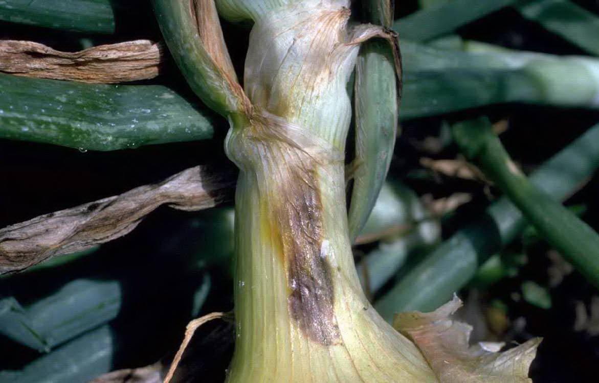 Как вывести луковую моль (acrolepiopsis assectella) народными средствами