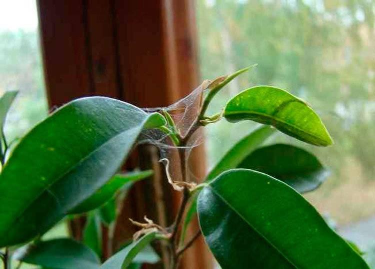 Как избавиться от паутинного клеща на комнатных растениях: способы борьбы, профилактика