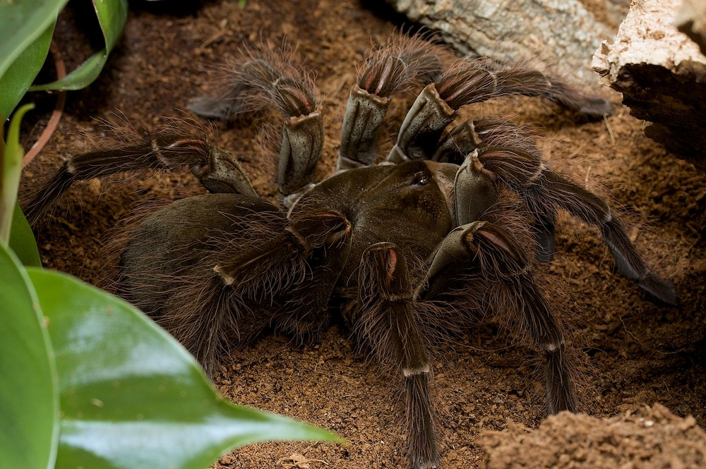 Гигантский птицеед: описание, продолжительность жизни в домашних условиях, размеры и какие пауки самые крупные