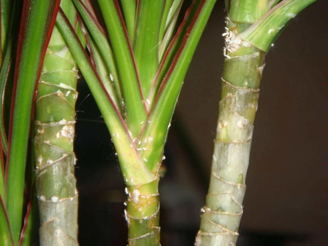 Боремся с мучнистым червецом на комнатных растениях