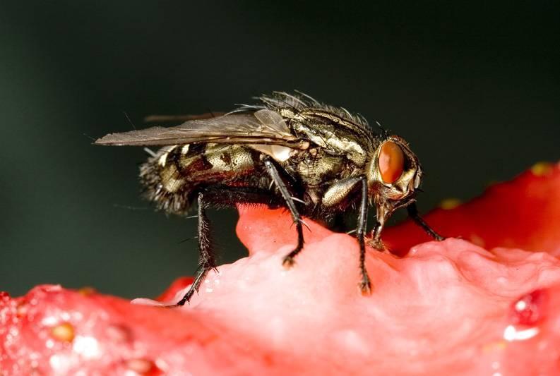 Вольфартова муха – монстр из царства насекомых