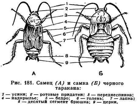 Значение тараканов, для чего в природе нужны тараканы