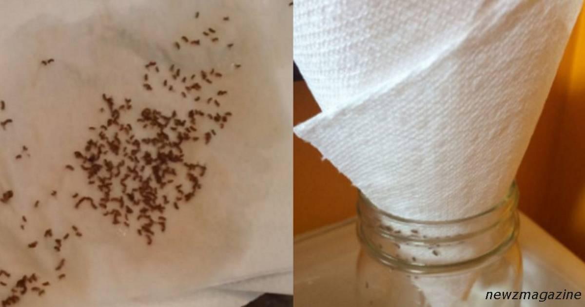 Как избавиться от дрозофил в квартире в домашних условиях