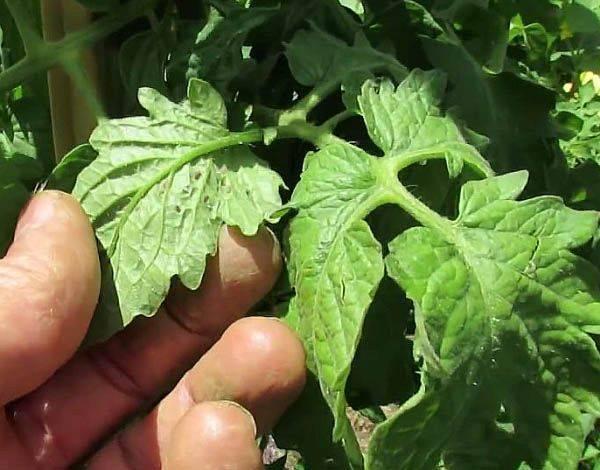 Совка на помидорах: методы борьбы препаратами и народными средствами