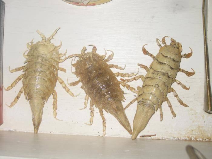 Особенности жизненного цикла морского таракана