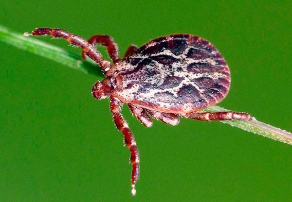 Что такое подкожные клещи. симптомы присутствия паразита и методы борьбы