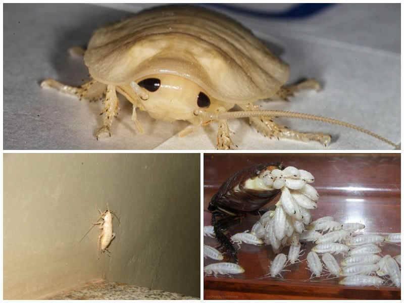 Почему некоторые тараканы белые, откуда они берутся в доме?