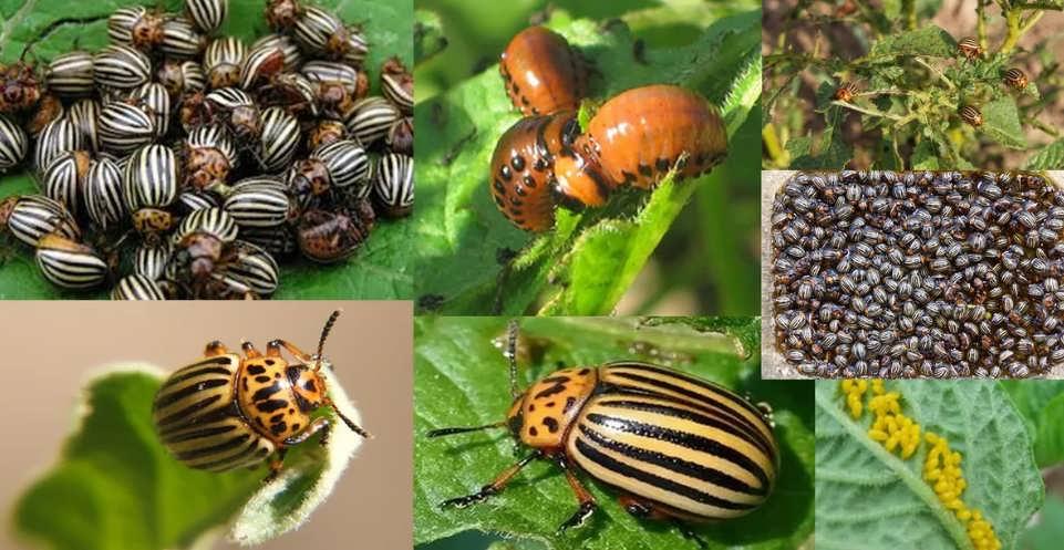 Колорадский жук: как выглядит и чем питается картофельный листоед