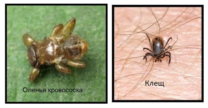 Как защититься от лосиной мухи: химические средства и другие методы