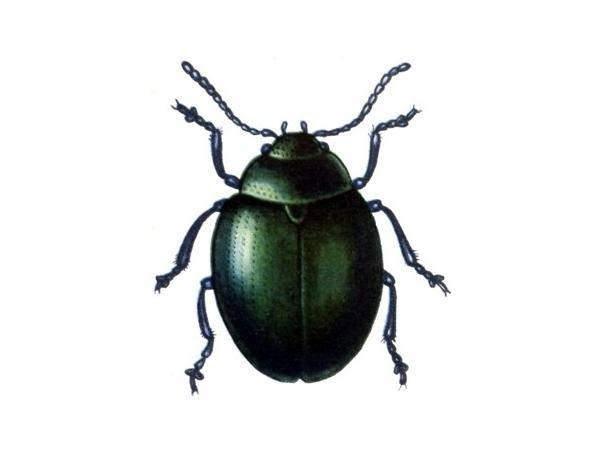 Бабануха – капустный или хреновый листоед