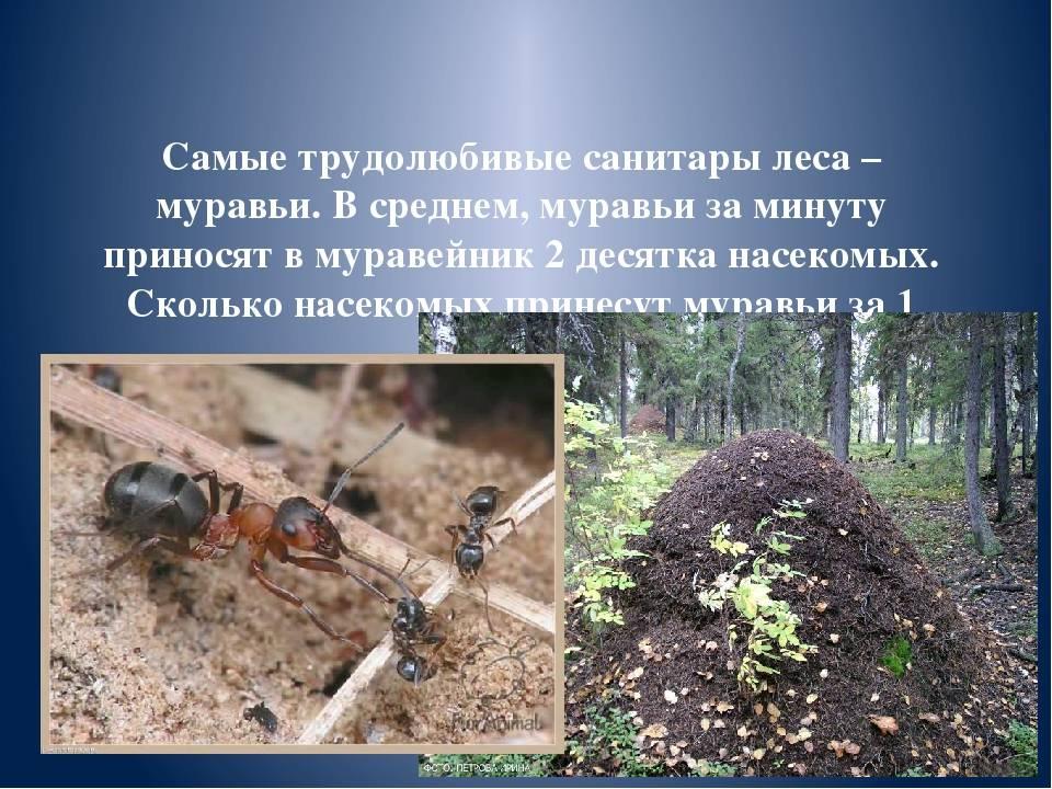 Значение муравьев в природе: польза, вред и лечение
