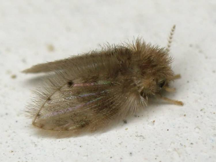 Избавиться от бабочницы или канализационной мухи, профилактика
