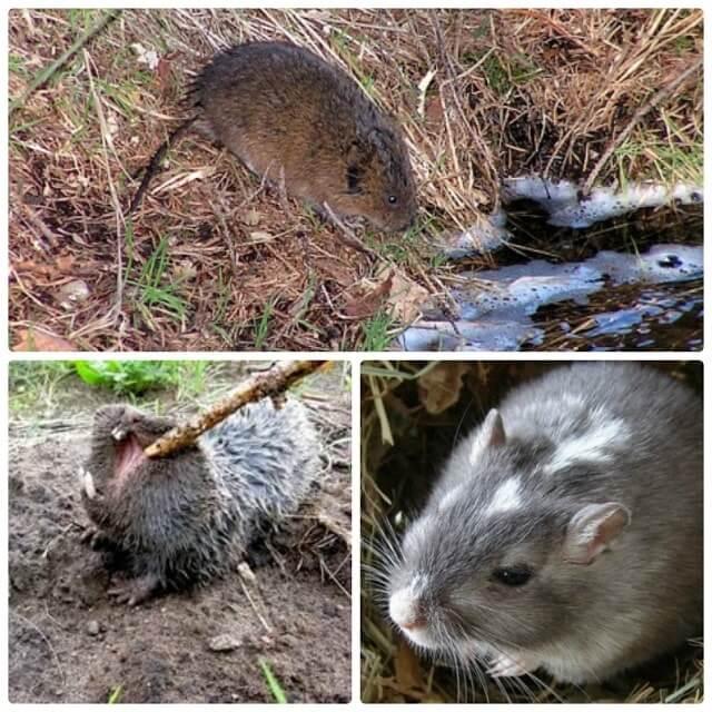 10 эффективных способов борьбы с водяной крысой на огороде