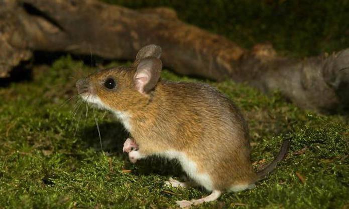 Лесная мышь: фото, чем питается в лесу, описание и особенности русский фермер