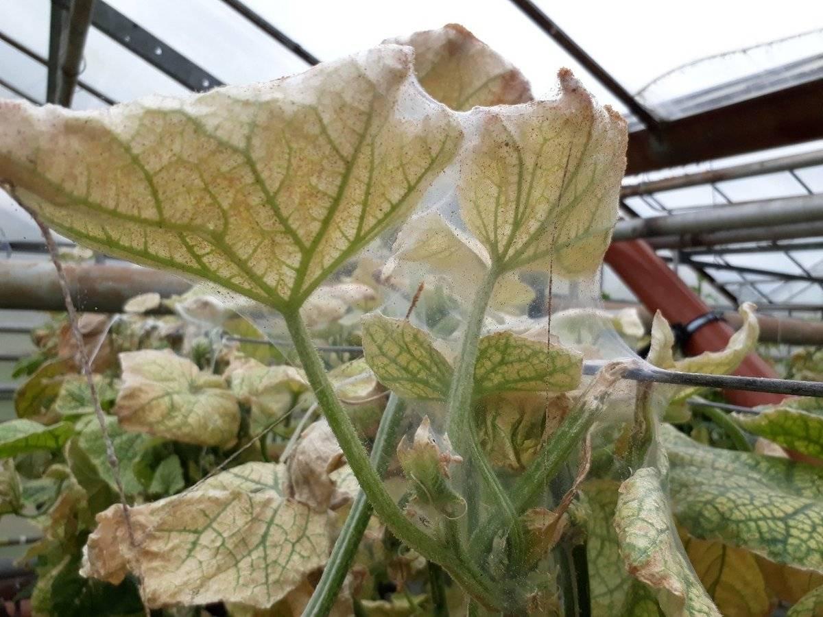 Причины возникновения паутины на перце – как спасти урожай