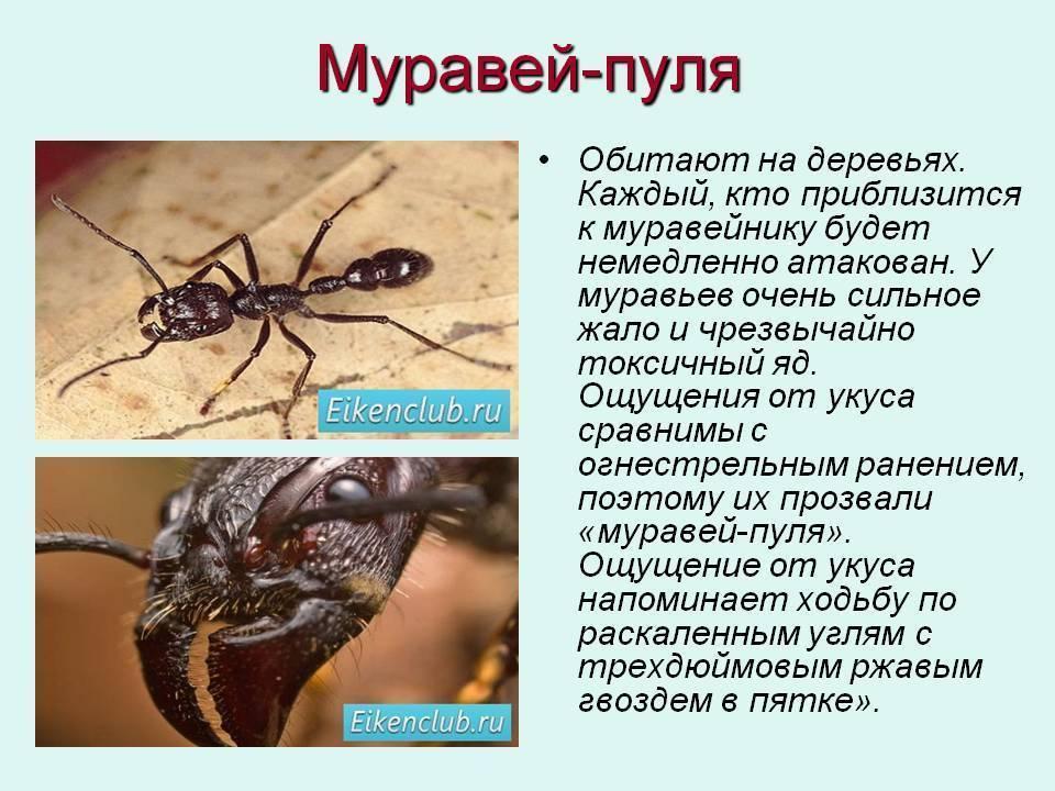 Укус муравья: как выглядит на коже, фото, чем лечить, какие последствия могут быть