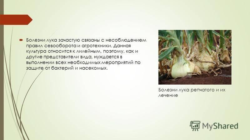 Желтеет лук. что делать? почему желтеет лук на грядке? причины и средства борьбы. фото — ботаничка.ru