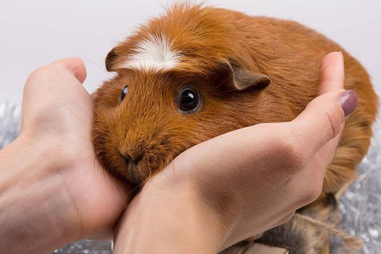 Блохи у морской свинки и их лечение в домашних условиях: бывают ли и как понять, что они есть у животного, признаки и как вывести с помощью средства